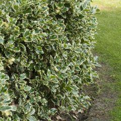 Ilex aquifolium 'Argentea Marginata' - Gewone Hulst