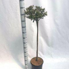 Ilex 'Ingramii' op stam met hoogte 100cm
