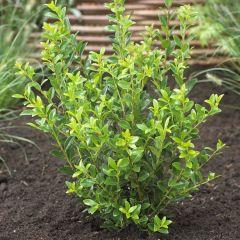 Ilex maximowicziana 'Kanehirae' - Japanse Hulst