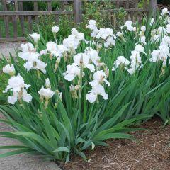 Iris germanica White Knight