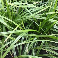 Carex fol. Irish Green