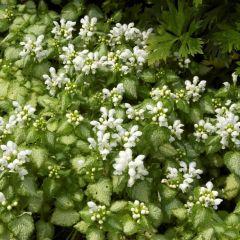 Lamium mac. 'White Nancy'