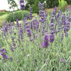 Lavandula 'Richard Gray'