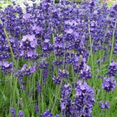 Lavandula angustifolia 'Brabants Lust'