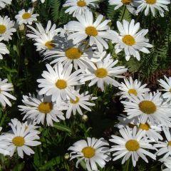 Leucanthemum superbum 'Silberprinzessche'
