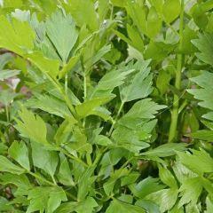 Levisticum officinalis