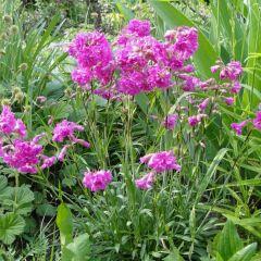 Lychnis alpina 'Rosea'