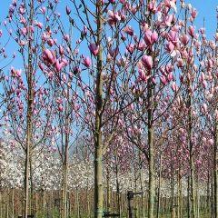 Magnolia 'Soulangeana' op stam