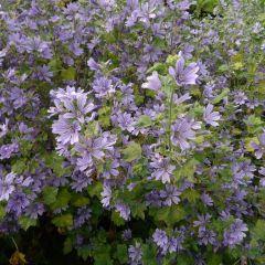 Malva sylvestris 'Primley Blue'