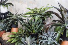 Mangave Planten 'Mix'