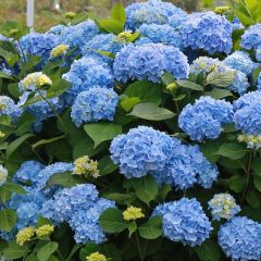 Hydrangea macrophylla 'Little Blue'