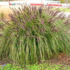 Pennisetum alopecuroides 'Black Beauty' - Lampenpoetsersgras