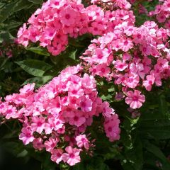Phlox paniculata 'Flame Pink'