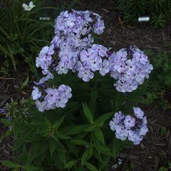 Phlox paniculata 'Flame Blue'