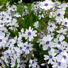 Phlox subulata 'Bavaria'