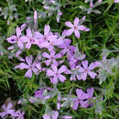 Phlox subulata 'Moerheimii'