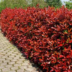 Photinia fraseri 'Red Robin' - Glansmispel