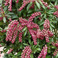 Pieris japonica 'Passion'
