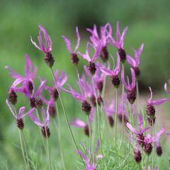 Lavandula stoechas 'Pedunculata'