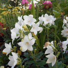 Platycodon grandiflorus 'Astra White'