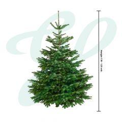 Echte  Nordmann (Gezaagd) ↕ 110-125 cm - Premium Kerstboom