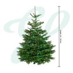 Echte Nordmann (Gezaagd) ↕ 125-150 cm - Premium Kerstboom