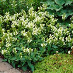 Prunella grandiflora 'Alba'