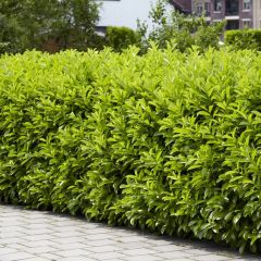 Prunus laurocerasus 'Caucasica' - Laurierkers