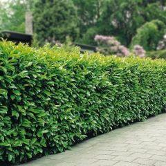 60 x Prunus laur. Rotundifolia - Laurierhaag met hoogte 80-100cm