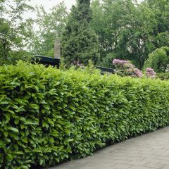 50 x Prunus 'Rotundifolia' - Laurierhaag met hoogte 100-125cm