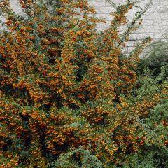 Pyracantha 'Orange Glow'