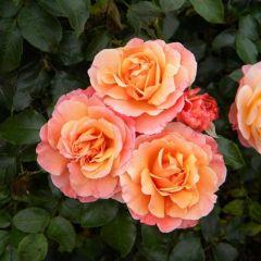 Rosa the Fairy 'Orange'