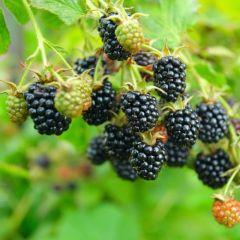 Rubus fruticosus 'Thornfree'