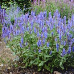 Salvia nemorosa 'Blauhugel'
