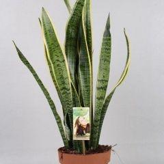 Sansevieria Laurentii- Vrouwentong ↕ 50cm