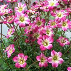 Saxifraga 'Pixie Pink'