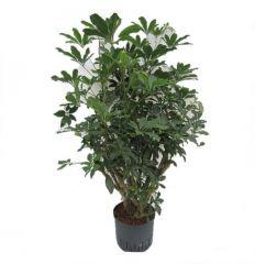Schefflera Louisiana - Vingersboom ↕ 110cm