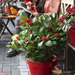 Skimmia japonica 'Olympic Flame'
