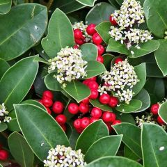 Skimmia japonica 'Godrie's Little Ruby'