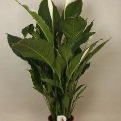 Spathiphyllum Sebastiano - Lepelplant ↕ 120cm