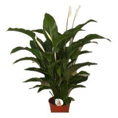Spathiphyllum Sweet Lauretta - Lepelplant ↕ 100cm