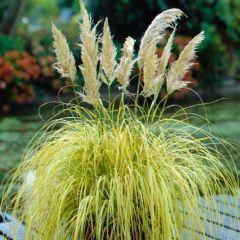 Cortaderia selloana 'Stars and Stripes'