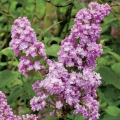Syringa vulgaris 'Belle de Nancy'
