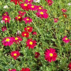 Tanacetum coccineum 'Robinson's Red'