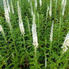 Veronica longifolia 'Alba'