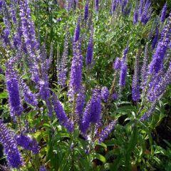 Veronica longifolia Blauriesin