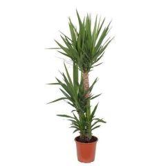 Yucca Elephantipes - Palmlelie 3 toef ↕ 100cm