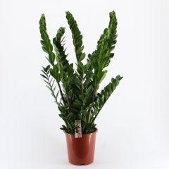 Zamioculcas Zamiifolia - Emeraldpalm ↕ 90cm
