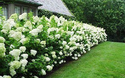 Hortensia's online planten kopen