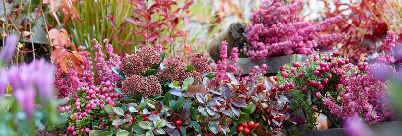 Herfstkleuren. Breng kleur in uw tuin met de mooiste herfstbloeiers.